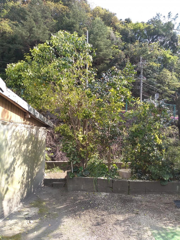 【鹿児島市玉里町】庭木の伐採のご依頼☆リフォーム前に急ぎで対応でき、ご満足いただけました!